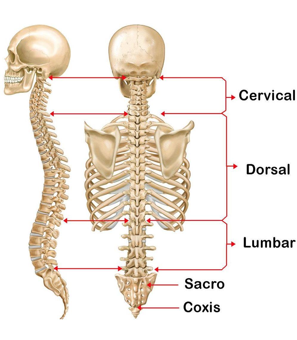 La columna vertebral y el dolor de espalda