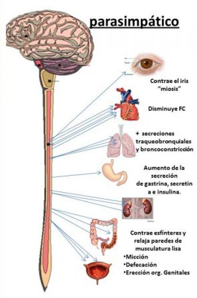 Sistema parasimpatico del estrés